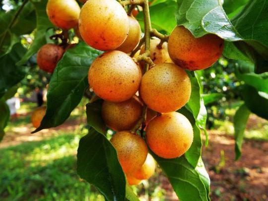 Quất hồng bì: Vua trái cây mùa hè được săn lùng - Ảnh 3.
