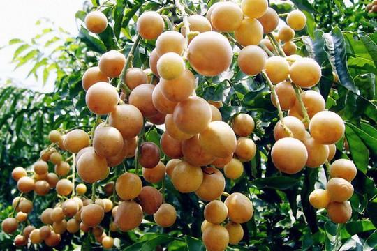 Quất hồng bì: Vua trái cây mùa hè được săn lùng - Ảnh 4.