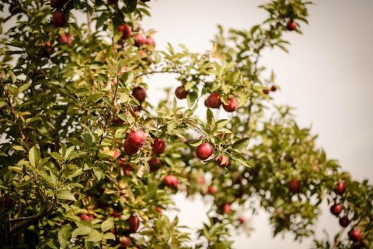Vườn táo gần 300 tuổi đẹp như ở xứ sở thiên đường - Ảnh 2.