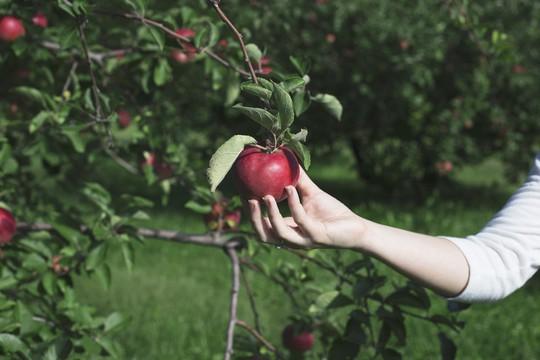 Vườn táo gần 300 tuổi đẹp như ở xứ sở thiên đường - Ảnh 11.