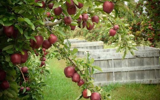 Vườn táo gần 300 tuổi đẹp như ở xứ sở thiên đường - Ảnh 12.