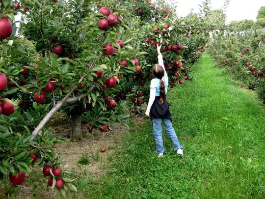 Vườn táo gần 300 tuổi đẹp như ở xứ sở thiên đường - Ảnh 19.