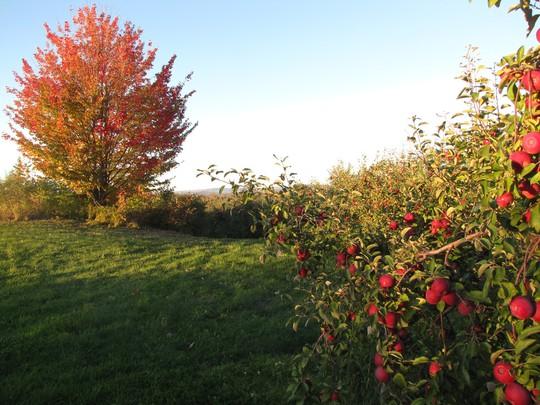Vườn táo gần 300 tuổi đẹp như ở xứ sở thiên đường - Ảnh 3.