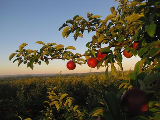 Vườn táo gần 300 tuổi đẹp như ở xứ sở thiên đường - Ảnh 4.