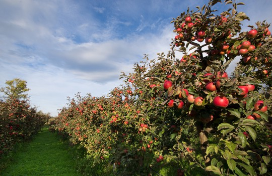 Vườn táo gần 300 tuổi đẹp như ở xứ sở thiên đường - Ảnh 5.