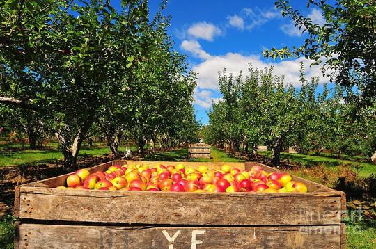 Vườn táo gần 300 tuổi đẹp như ở xứ sở thiên đường - Ảnh 6.