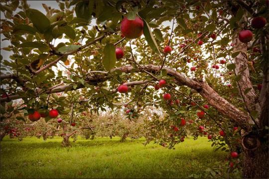 Vườn táo gần 300 tuổi đẹp như ở xứ sở thiên đường - Ảnh 7.