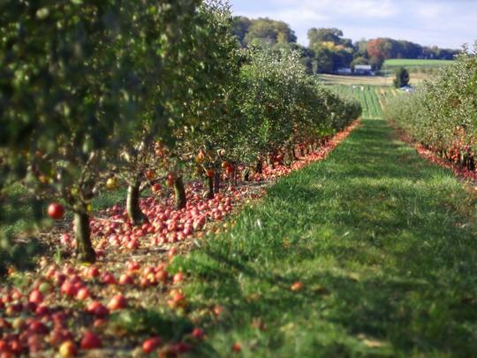 Vườn táo gần 300 tuổi đẹp như ở xứ sở thiên đường - Ảnh 8.