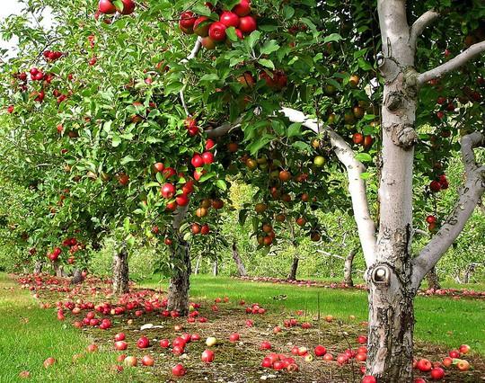 Vườn táo gần 300 tuổi đẹp như ở xứ sở thiên đường - Ảnh 9.