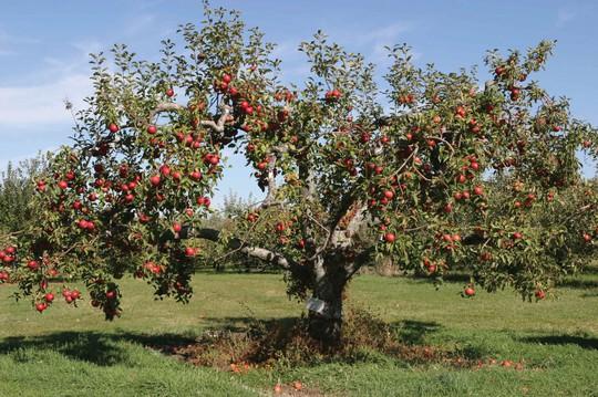 Vườn táo gần 300 tuổi đẹp như ở xứ sở thiên đường - Ảnh 10.