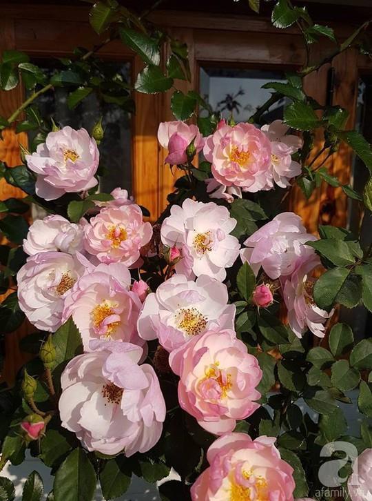 Mê mẩn khu vườn hoa hồng đẹp như mơ ở Đà Lạt - Ảnh 2.