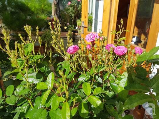 Mê mẩn khu vườn hoa hồng đẹp như mơ ở Đà Lạt - Ảnh 3.