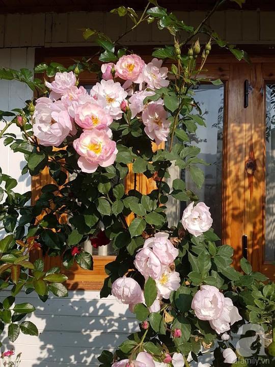 Mê mẩn khu vườn hoa hồng đẹp như mơ ở Đà Lạt - Ảnh 6.
