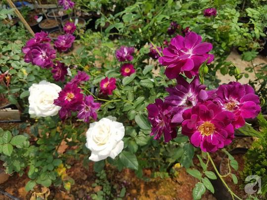 Mê mẩn khu vườn hoa hồng đẹp như mơ ở Đà Lạt - Ảnh 26.