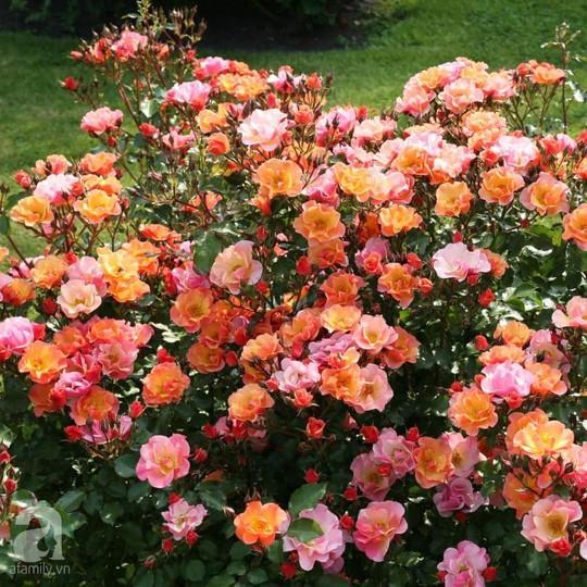 Mê mẩn khu vườn hoa hồng đẹp như mơ ở Đà Lạt - Ảnh 29.