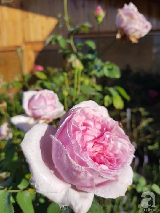 Mê mẩn khu vườn hoa hồng đẹp như mơ ở Đà Lạt - Ảnh 11.