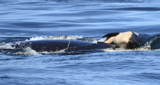 Cảm động cá voi sát thủ đau buồn vì con chết - Ảnh 2.