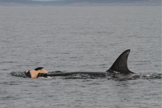 Cảm động cá voi sát thủ đau buồn vì con chết - Ảnh 1.