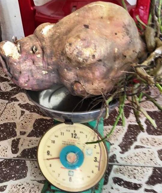 Hốt hoảng khi đào được củ khoai lang khủng nặng 8,5 kg - Ảnh 1.