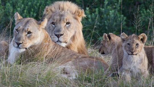 Sư tử giết chết nhóm săn trộm trong khu bảo tồn - Ảnh 1.