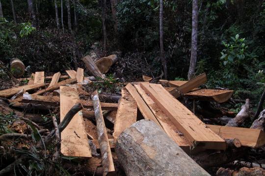 Bình Định: Yêu cầu kỷ luật cán bộ để xảy ra phá rừng cổ thụ - Ảnh 1.