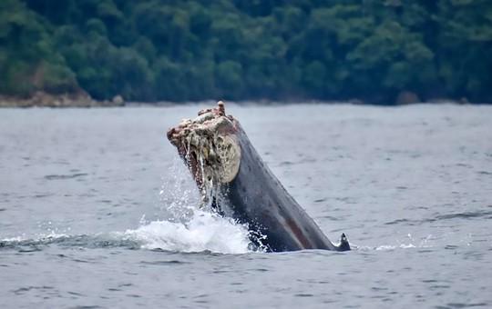 Rùng mình cảnh cá voi cụt đuôi bơi dưới biển - Ảnh 2.