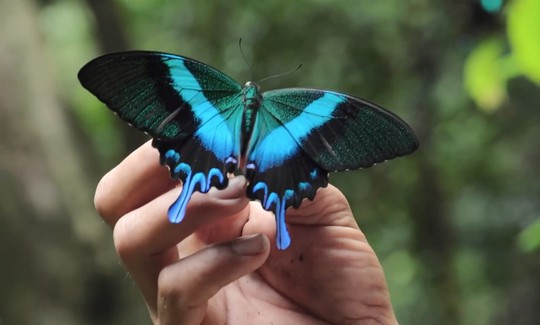 Những người săn bướm bí ẩn ở Indonesia - Ảnh 4.