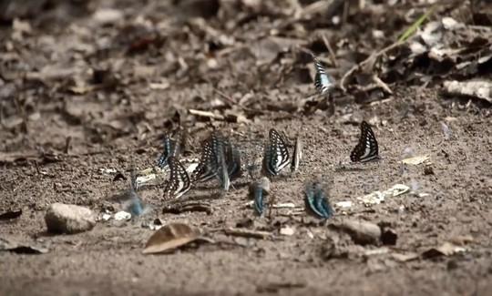 Những người săn bướm bí ẩn ở Indonesia - Ảnh 7.