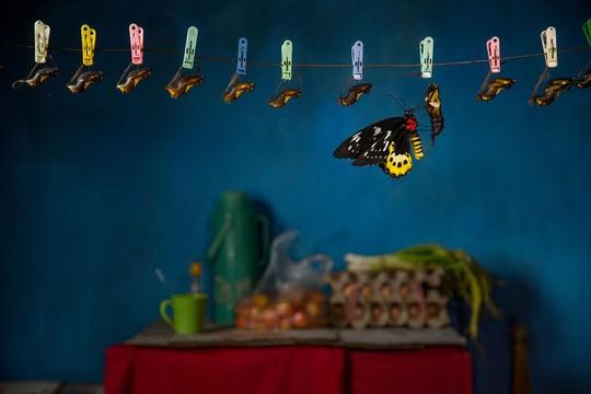 Những người săn bướm bí ẩn ở Indonesia - Ảnh 10.