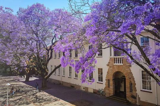 Mùa phượng tím Nam Phi - Ảnh 1.