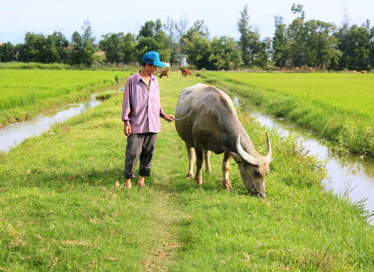 Oái oăm việc trâu, bò ra đồng gặm cỏ phải đóng phí 100.000 đồng! - Ảnh 1.