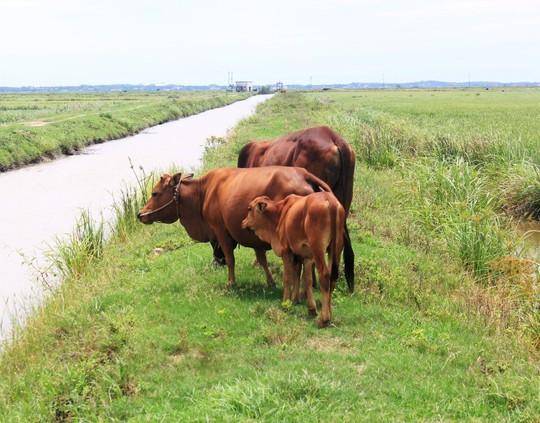 Oái oăm việc trâu, bò ra đồng gặm cỏ phải đóng phí 100.000 đồng! - Ảnh 2.