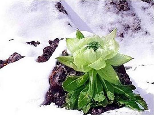 Thiên sơn tuyết liên 7 năm mới nở hoa: 100 triệu đồng/kg - Ảnh 1.