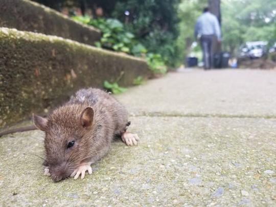 Diệt chuột kiểu Mỹ - Ảnh 1.