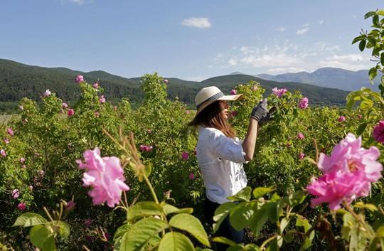Thung lũng hoa hồng thơ mộng giữa núi đồi Bulgaria - Ảnh 1.