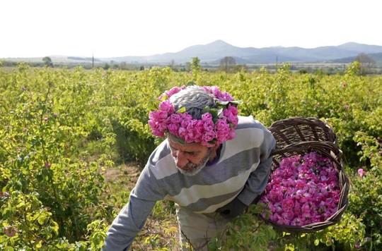 Thung lũng hoa hồng thơ mộng giữa núi đồi Bulgaria - Ảnh 14.