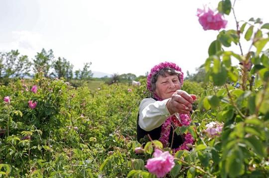 Thung lũng hoa hồng thơ mộng giữa núi đồi Bulgaria - Ảnh 5.