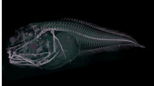 Phát hiện 3 loài cá ma bị tan chảy khi đưa lên mặt biển - Ảnh 2.
