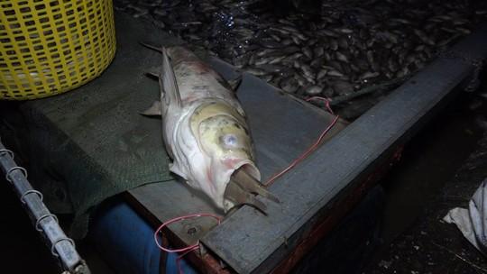 Hàng tấn cá lại chết trắng trên hồ Tây - Ảnh 3.