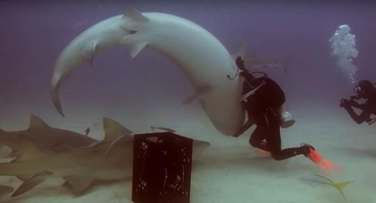 Thôi miên... cá mập - Ảnh 1.