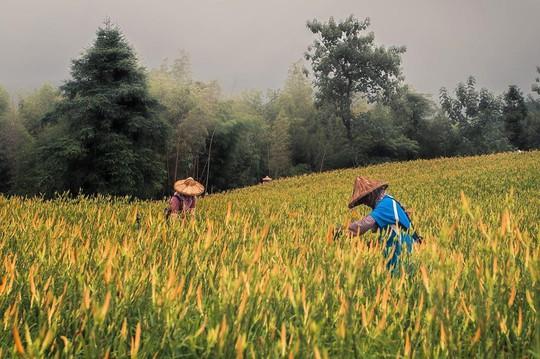 Chiêm ngưỡng xứ sở hoa kim châm đẹp như tranh vẽ ở Đài Loan - Ảnh 7.