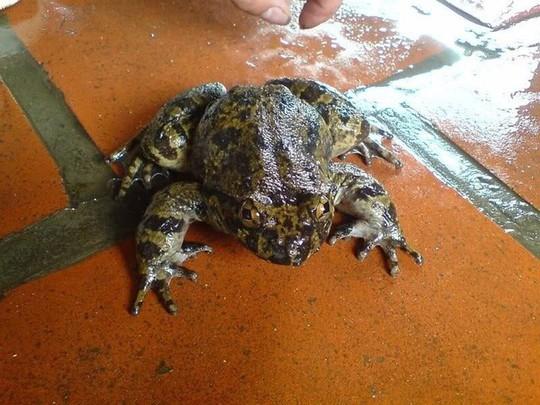 Có loài ếch đại gia giúp quý ông thăng hoa ở Lạng Sơn? - Ảnh 1.