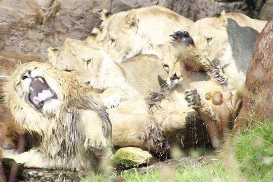 Bị 9 sư tử cái đánh hội đồng, sư tử đực đầu đàn chạy không nổi - Ảnh 1.