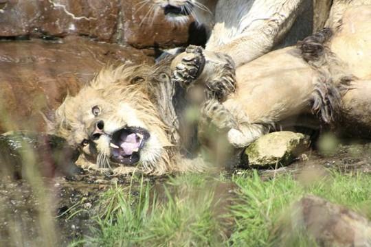 Bị 9 sư tử cái đánh hội đồng, sư tử đực đầu đàn chạy không nổi - Ảnh 2.