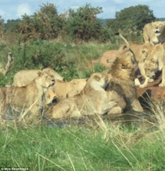 Bị 9 sư tử cái đánh hội đồng, sư tử đực đầu đàn chạy không nổi - Ảnh 3.