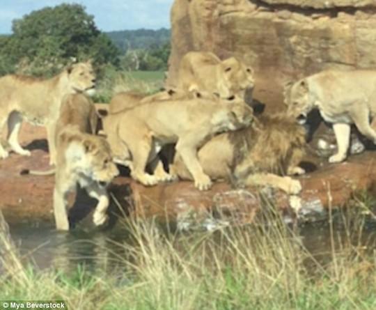 Bị 9 sư tử cái đánh hội đồng, sư tử đực đầu đàn chạy không nổi - Ảnh 4.