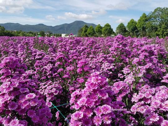 Vườn hoa thạch thảo đang gây sốt ở Bà Rịa - Vũng Tàu - Ảnh 1.
