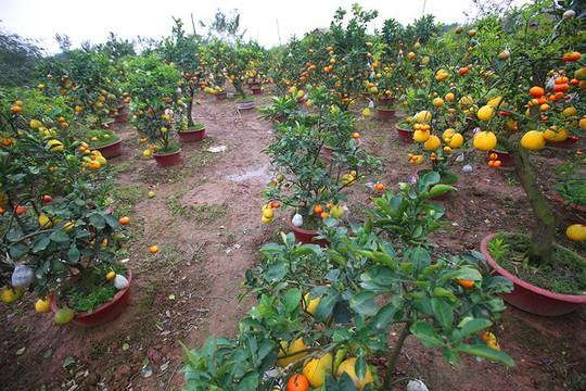 Trồng cây 11 loại quả bán dịp Tết - Ảnh 1.