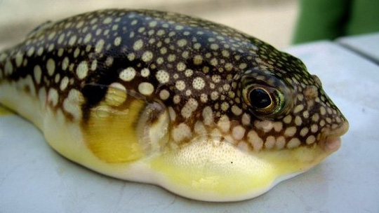 Điểm mặt những món hải sản có thể gây độc chết người - Ảnh 1.
