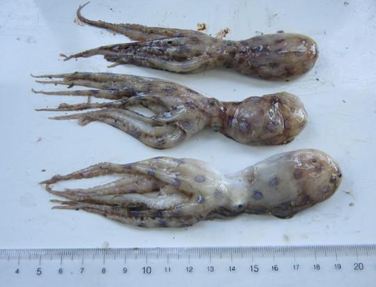 Điểm mặt những món hải sản có thể gây độc chết người - Ảnh 4.